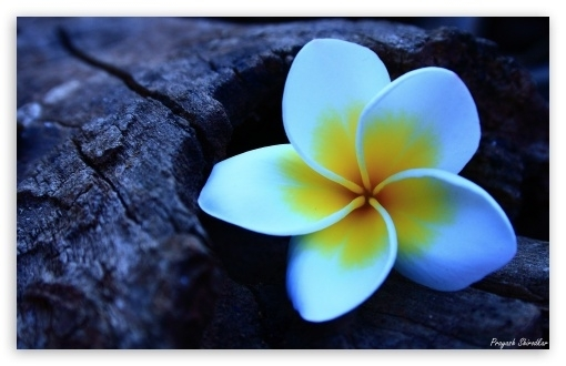 Inspired by the Frangipani,